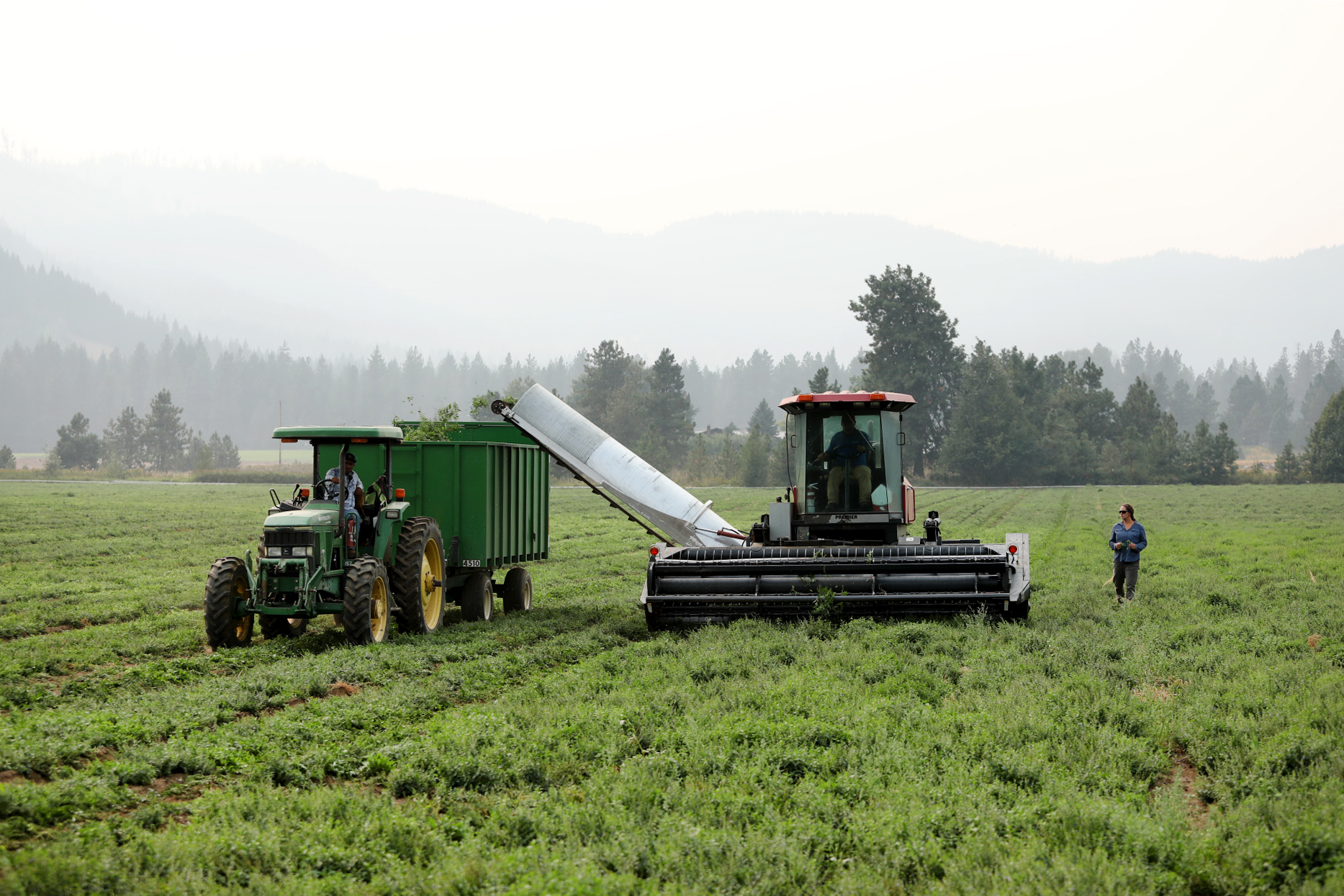 Organic nettles are harvested by combine and collected in tractor-pulled trailer while farmer looks on.
