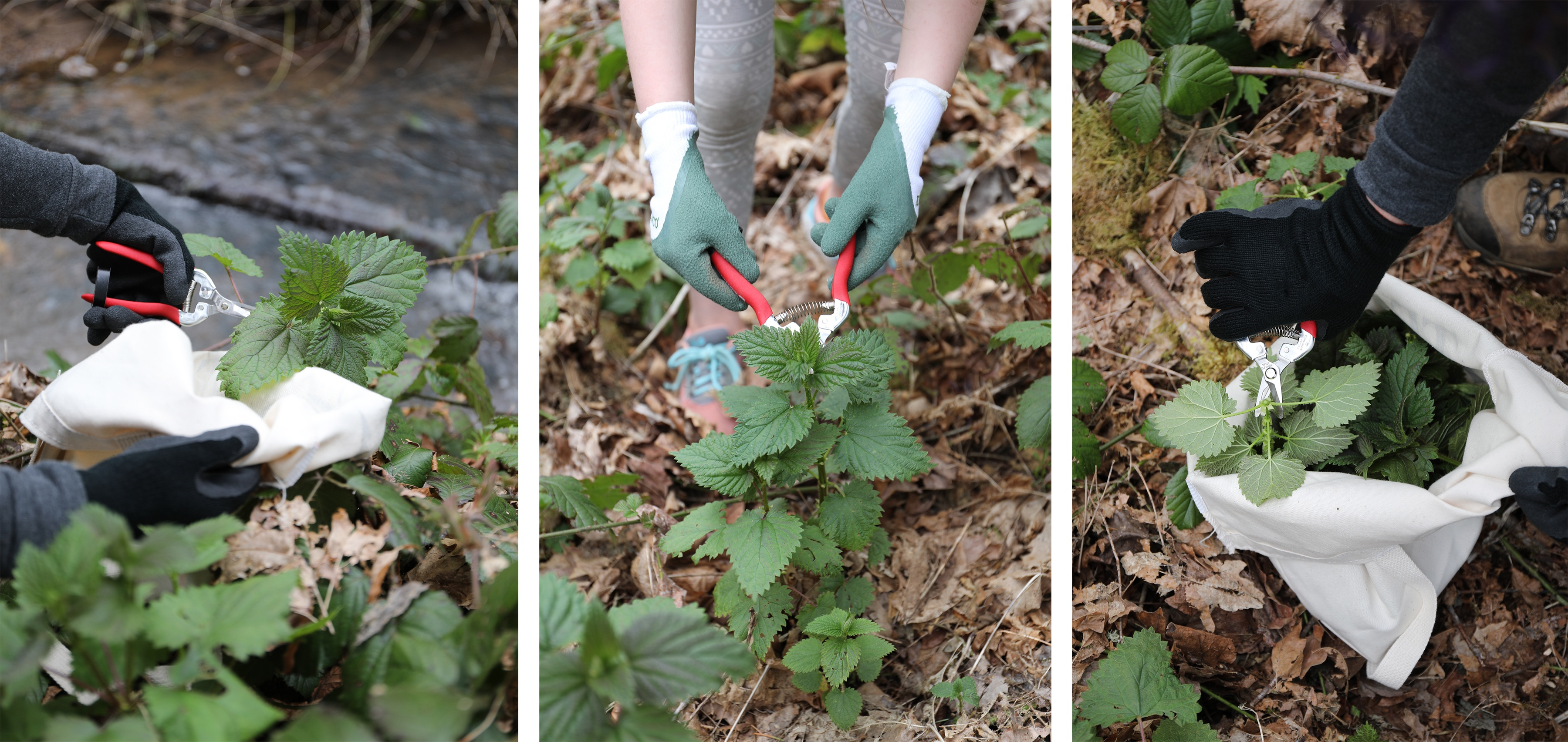 Three images of people wearing gloves harvesting stinging nettles in the wild with garden clippers