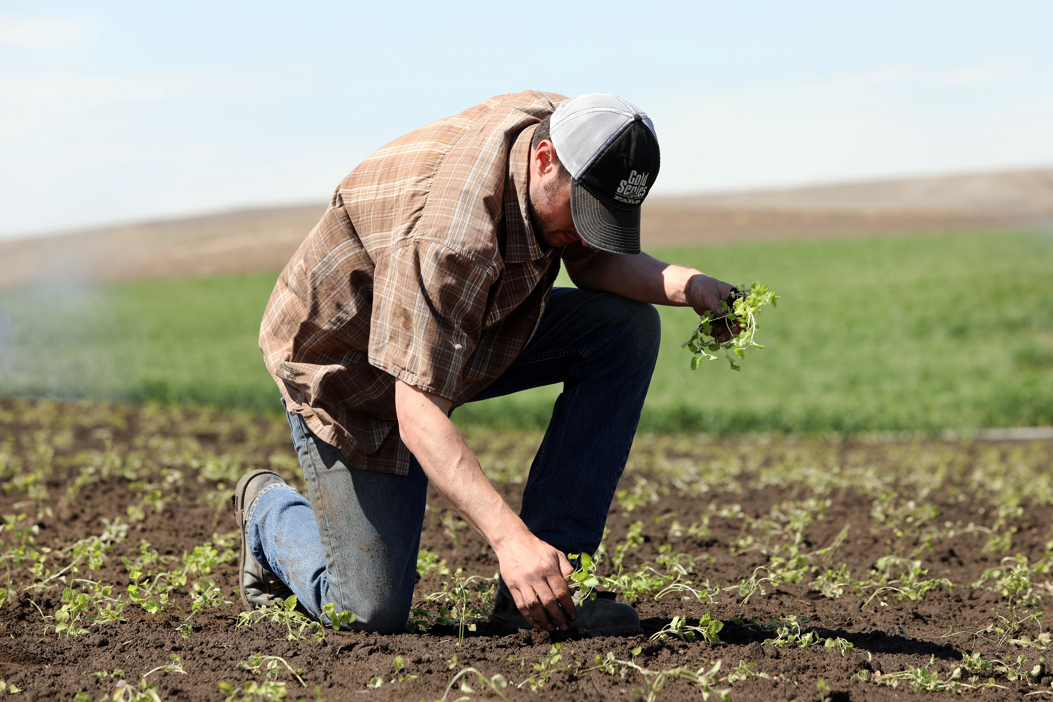 Man kneeling down in the field of a farm and harvesting the plants by hand.