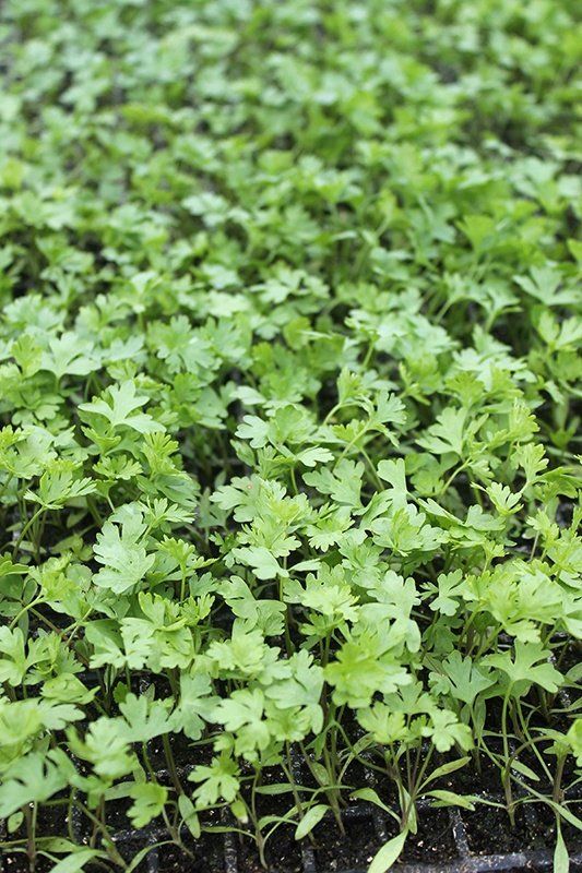 Green leaves of parsley being grown on the farm for the root