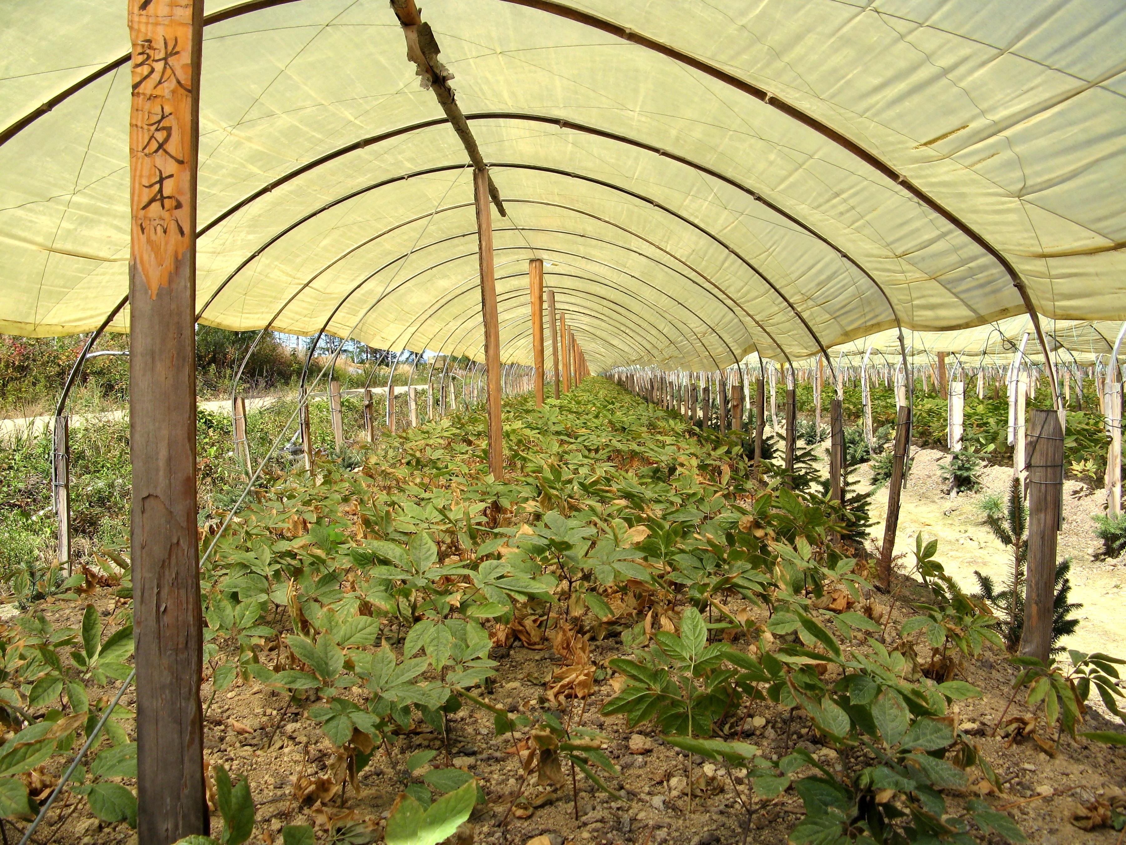 Panax ginseng plants in hoop house Jilin Provence China