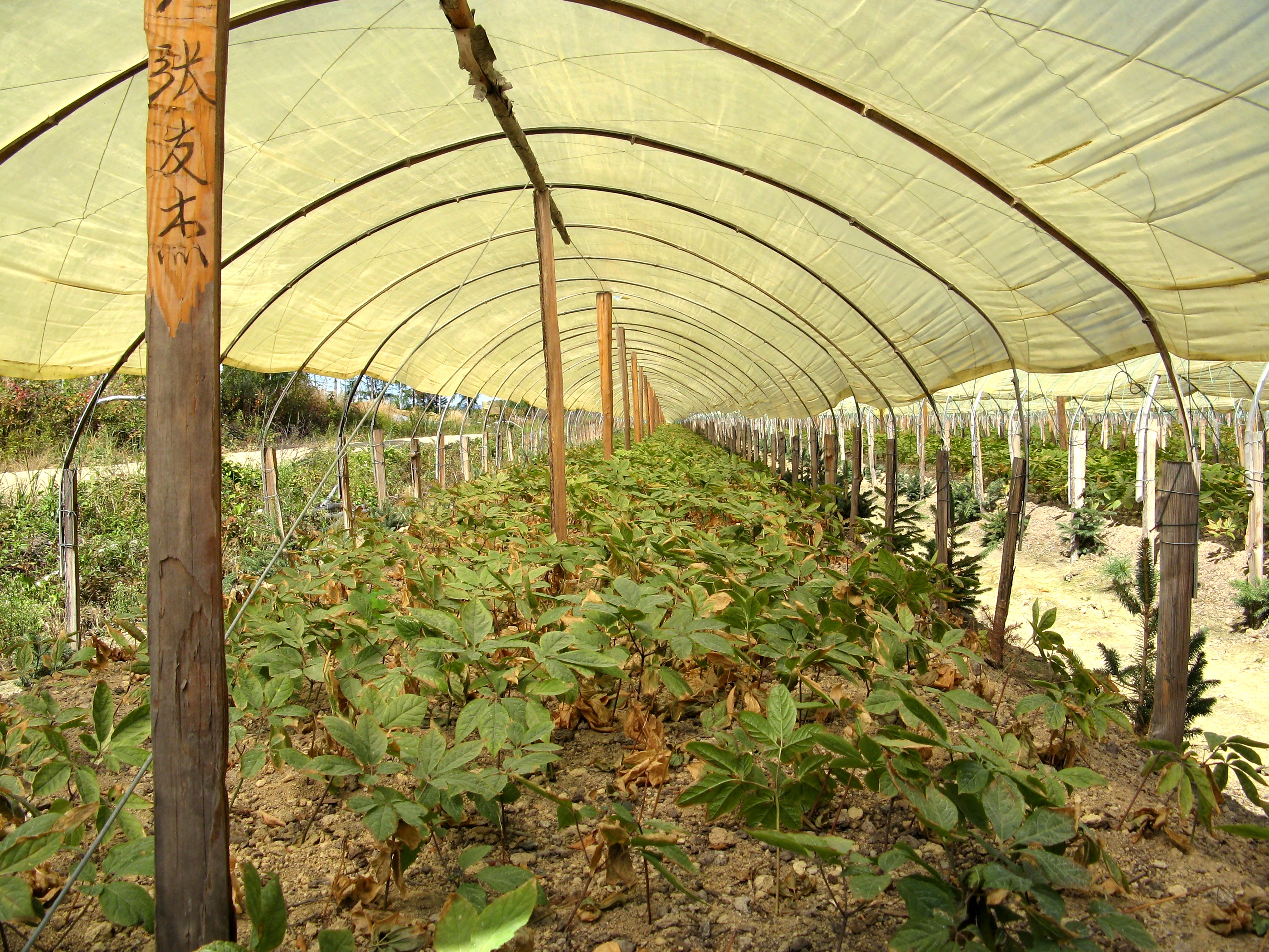 Panax ginseng plants in hoop house Jilin Provence China