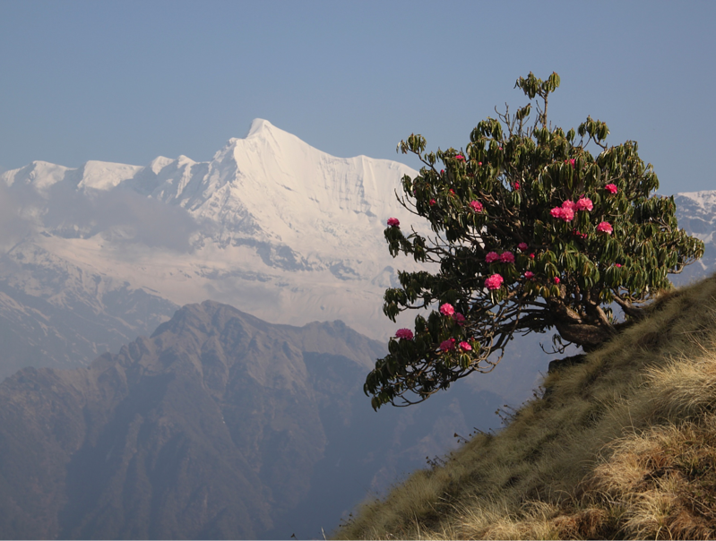Landscape view of the panchachuli mountains in the himalayan foothills in from the Kumaon tea growing region