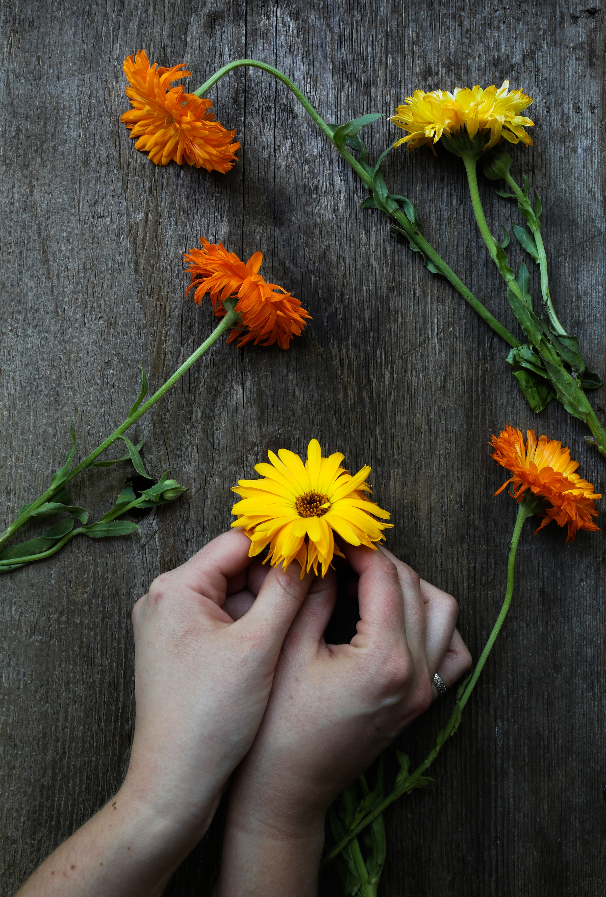 Hands holding a calendula flower on wooden table