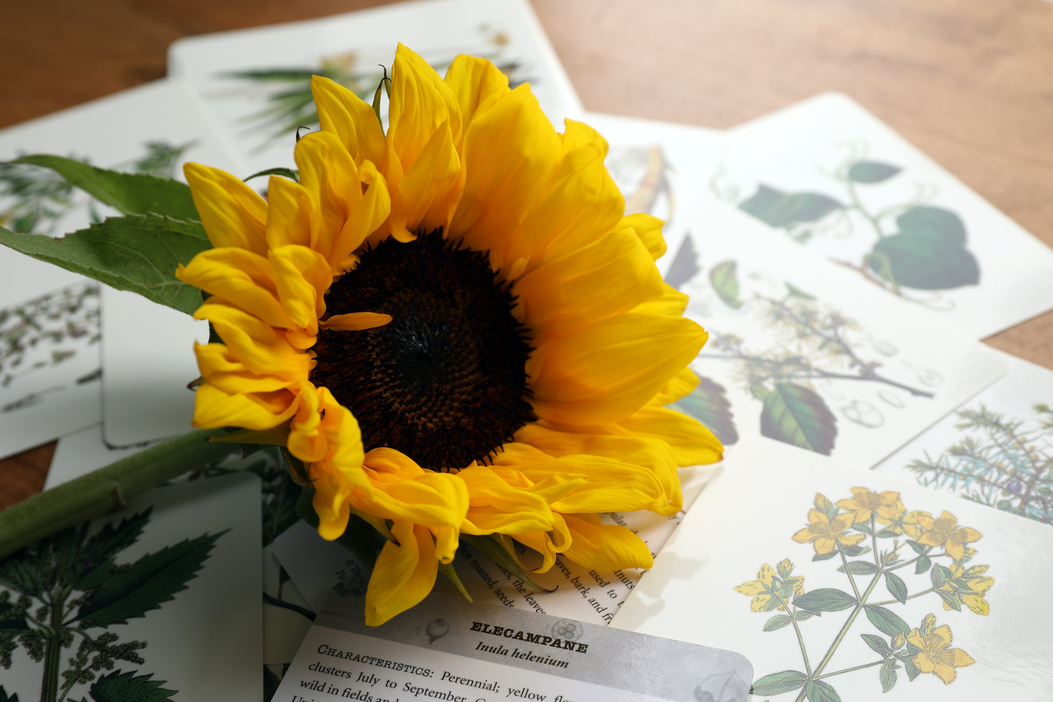 Sunflower laying on desk over lots of plant education cards