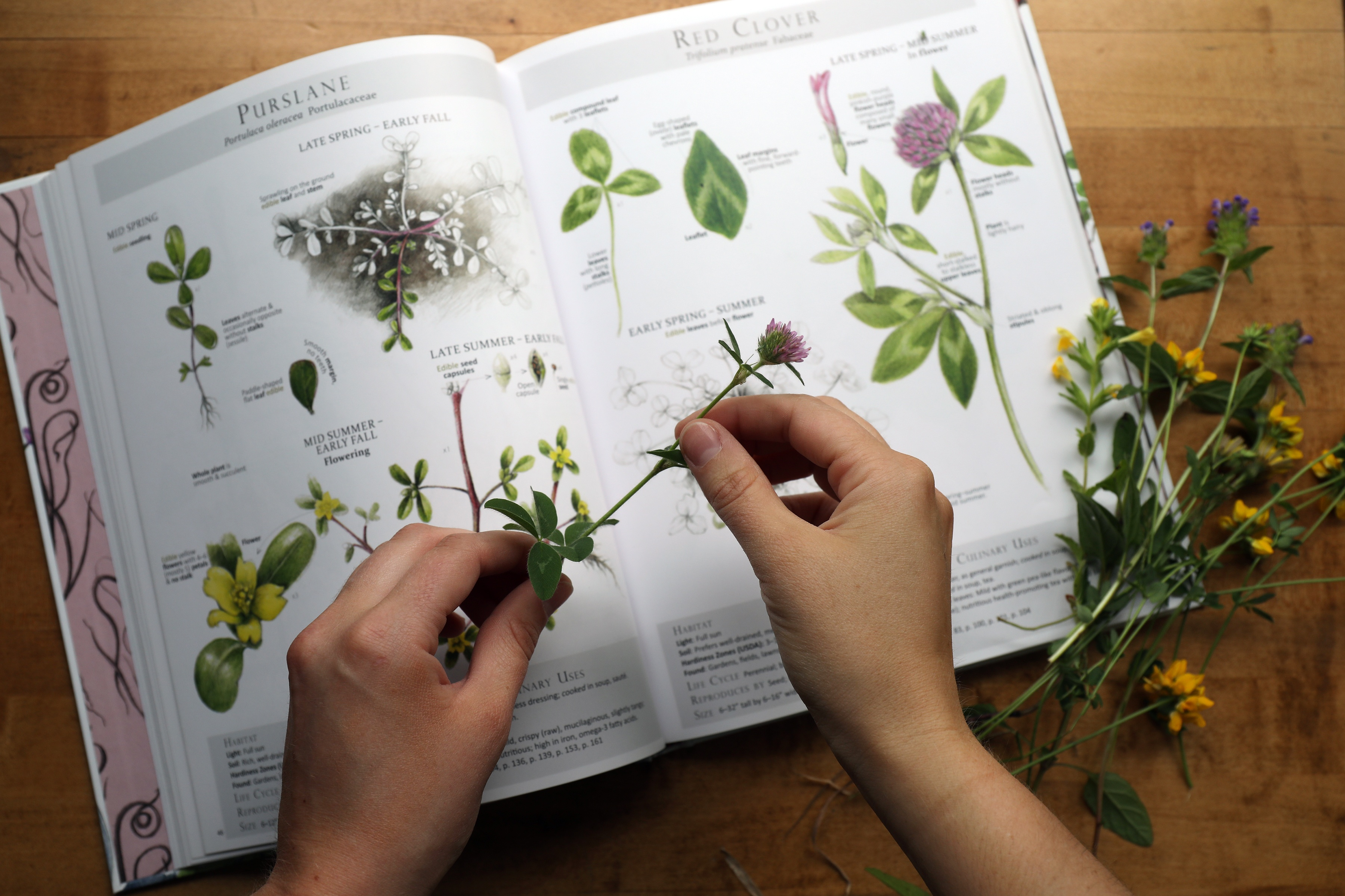 Hands holding plant trying to identify botanical near book