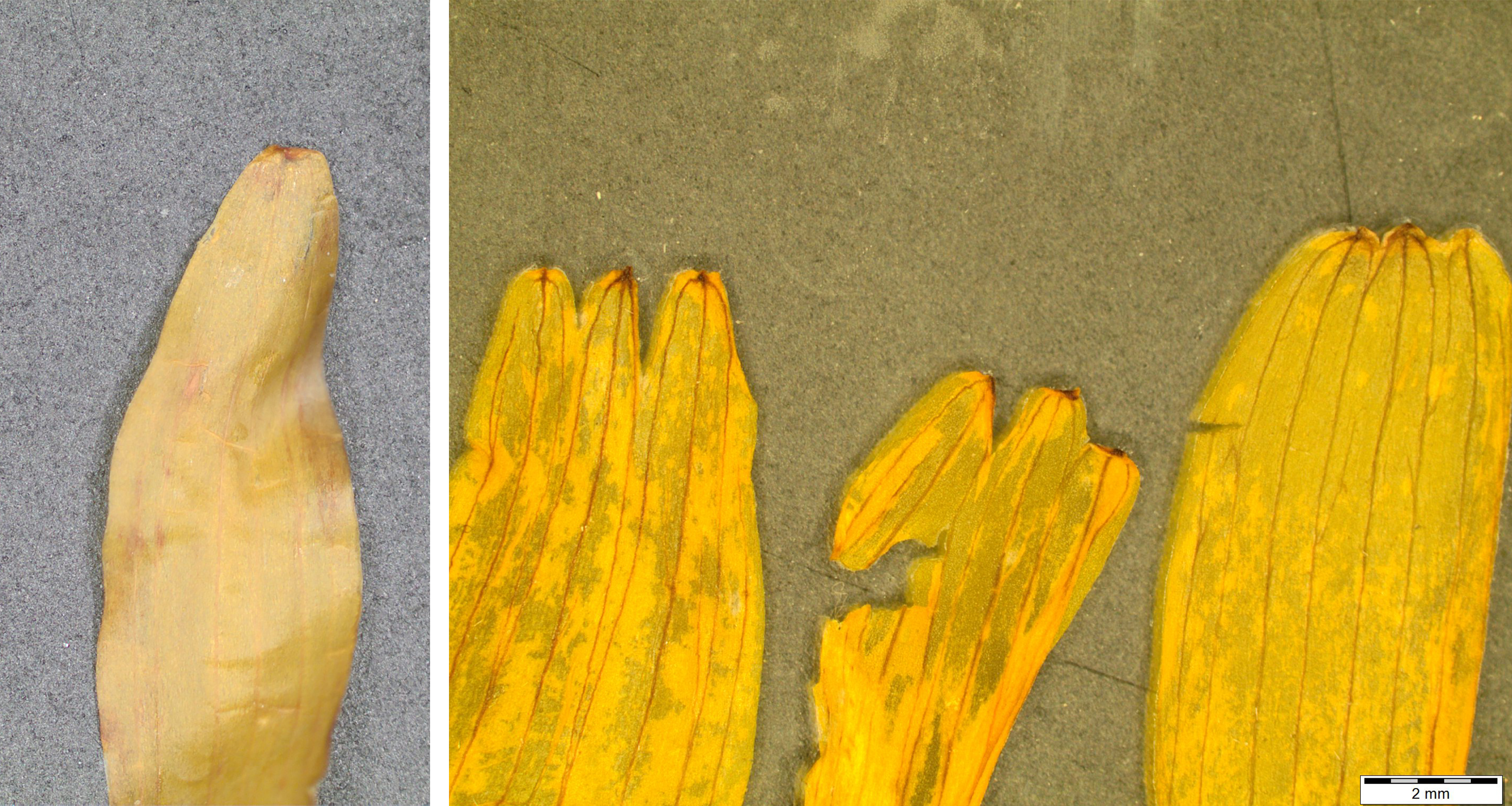 Macroscopic images of two botanicals help Mountain Rose Herbs' quality control team correctly identify plant species before making them available for purchase. Here are samples of Arnica montana and false Mexican arnica.