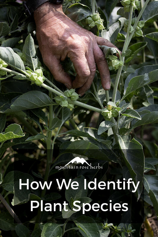 Identifying plant species is integral to the botanical industry, and the quality control team at Mountain Rose Herbs boasts a top-of-the-line identification program that is becoming an industry standard.
