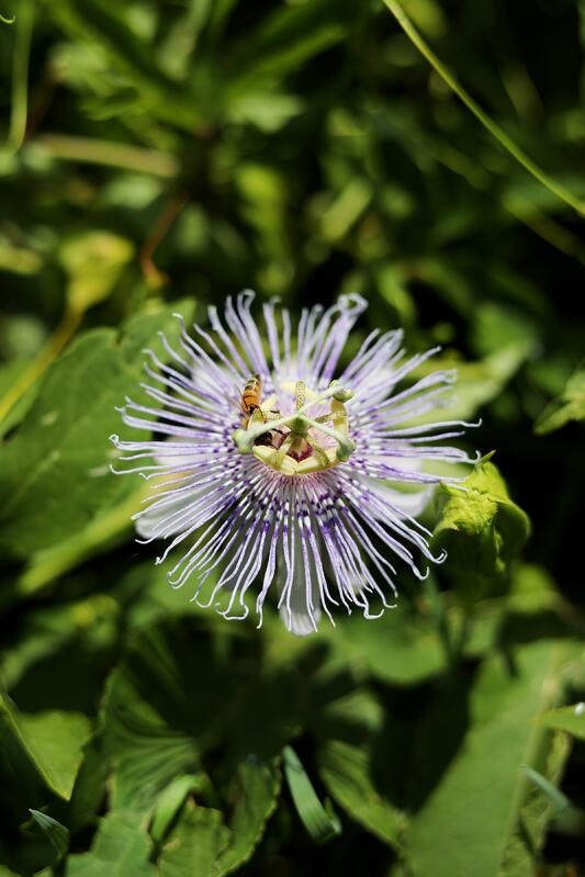 Close up of passionflower blossom with honey bee pollinating