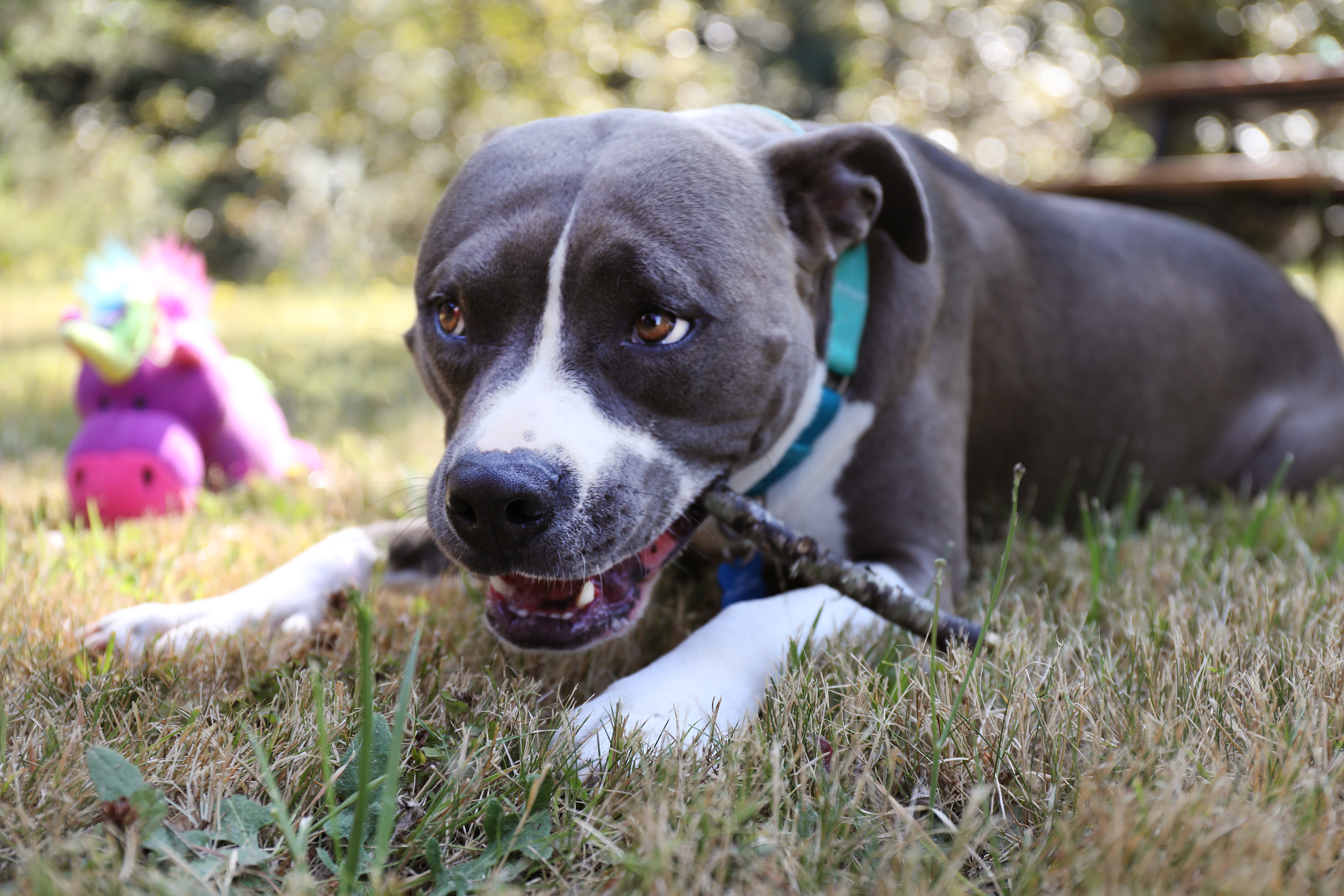 Cute, happy pitbull enjoying the last of a dog-friendly popsicle on a hot day