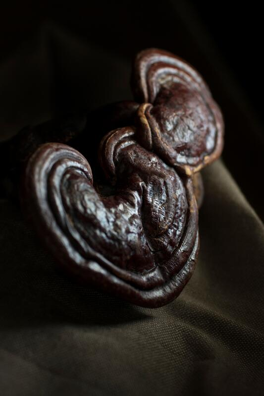 Two reishi mushrooms in a dark room on a burlap tablecloth