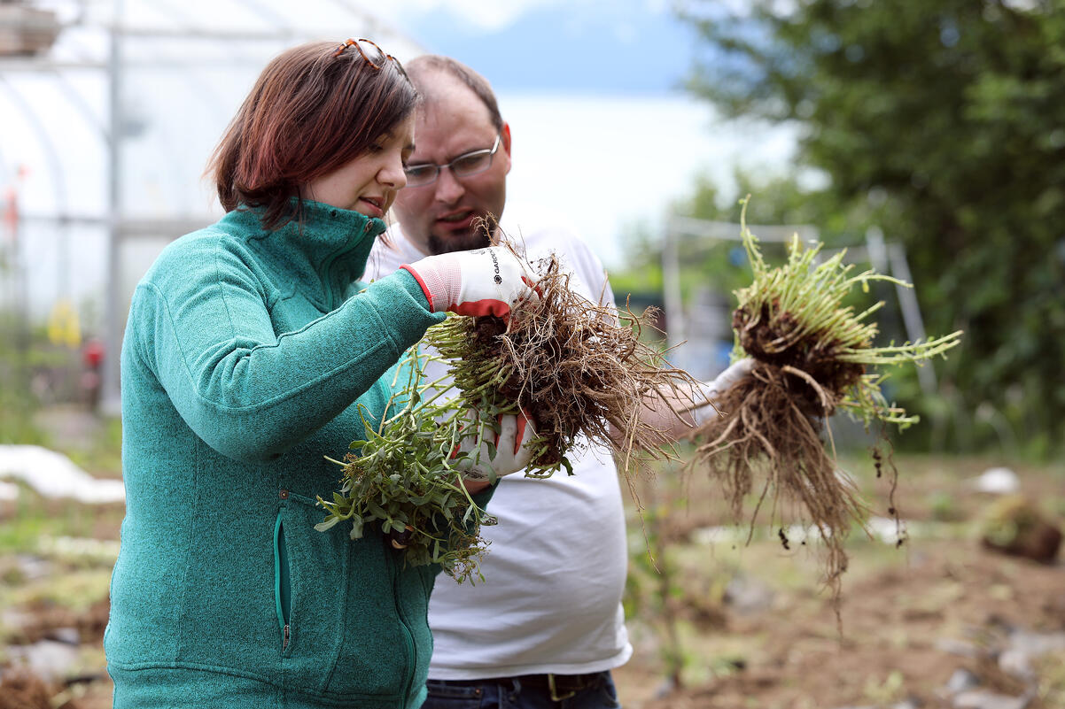 Woman and man examining freshly harvested rhodiola in Alaskan backyard.