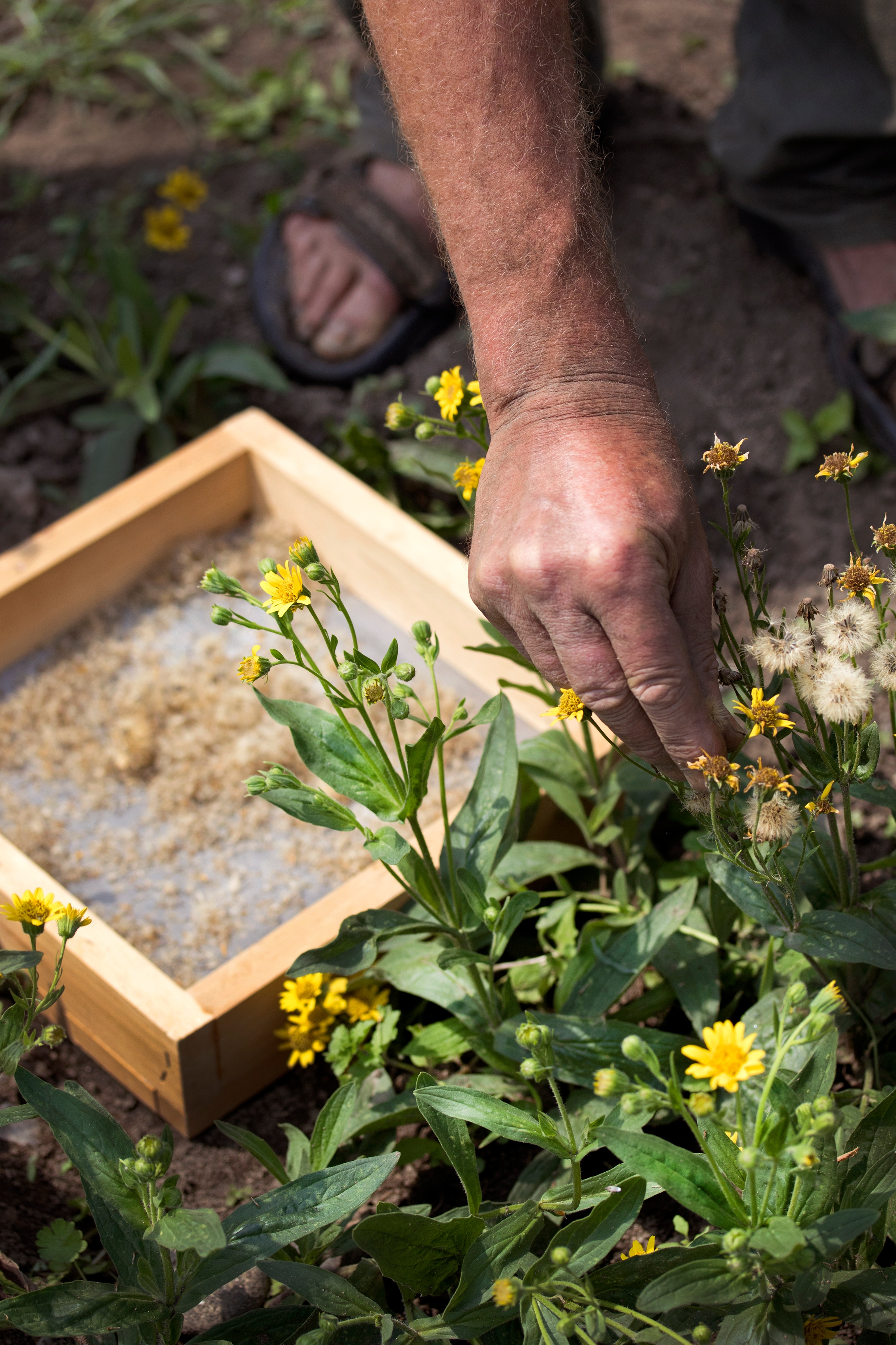 Richo Cech handling Arnica Seeds and Arnica plants and flowers