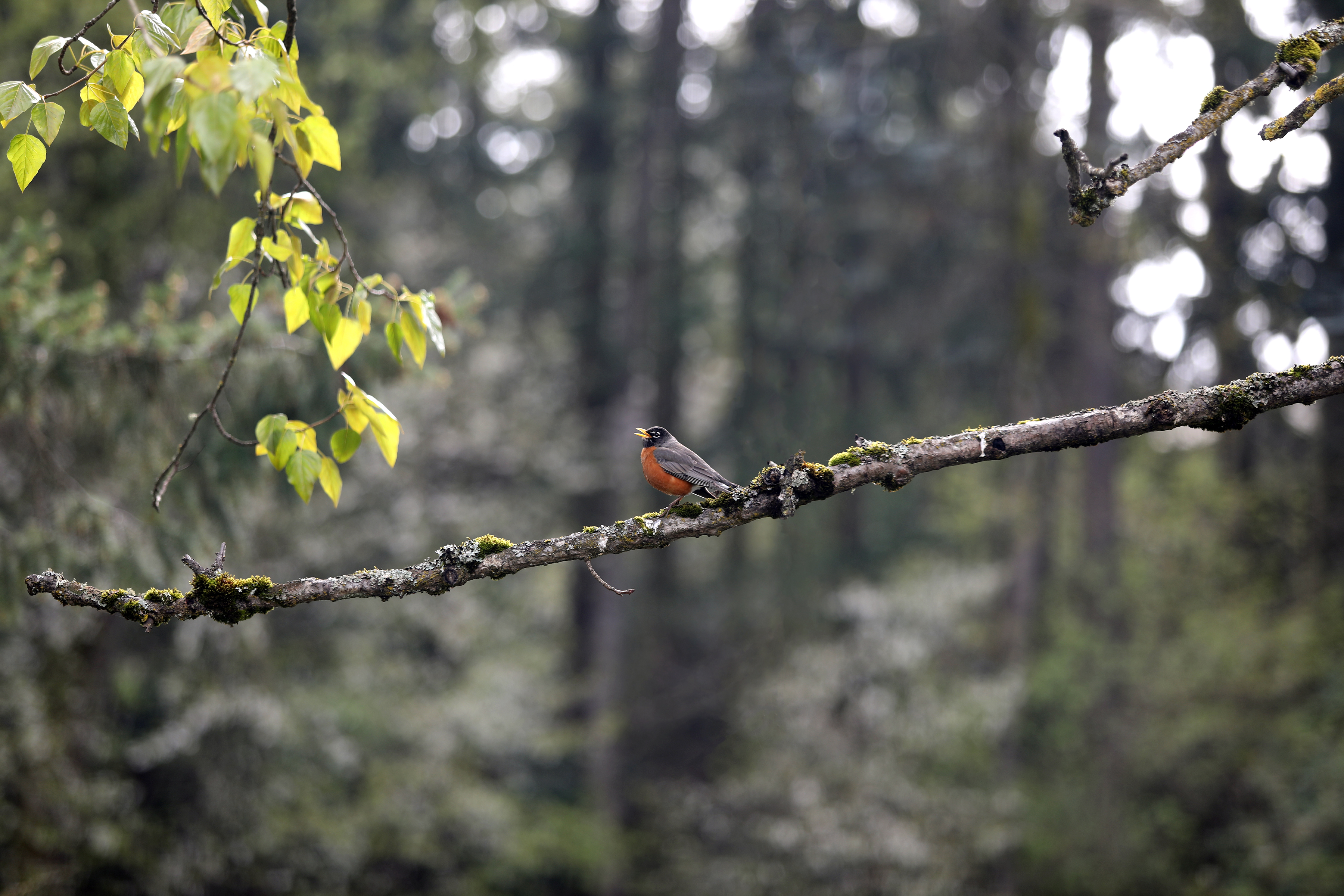 A robin perched in a tree in a wooded setting.