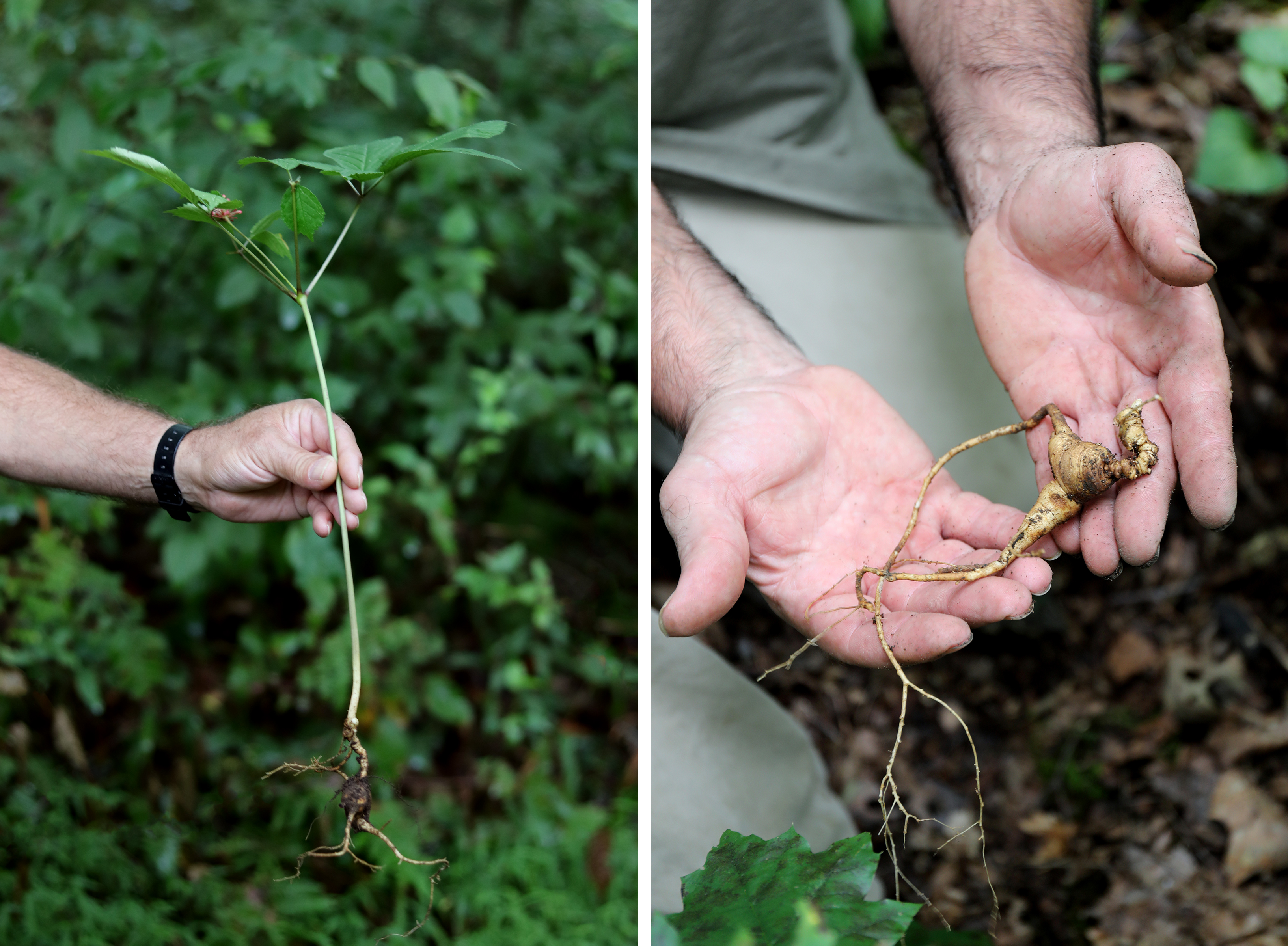 Freshly harvested ginseng plants and roots. Detailed photographs to give a scale of the plant and root size.