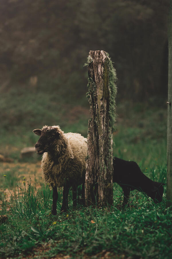 A mother sheep and her lamb graze in a lush green landscape.