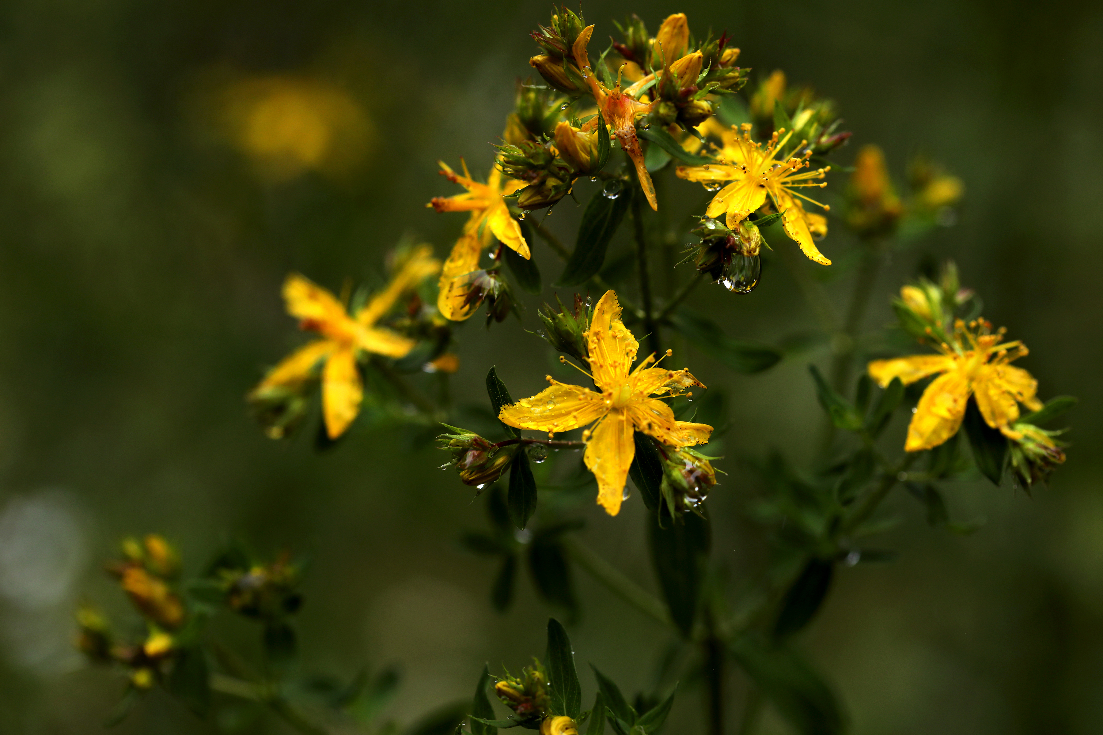 Flowering St. Johns Wort plant with yellow flowers