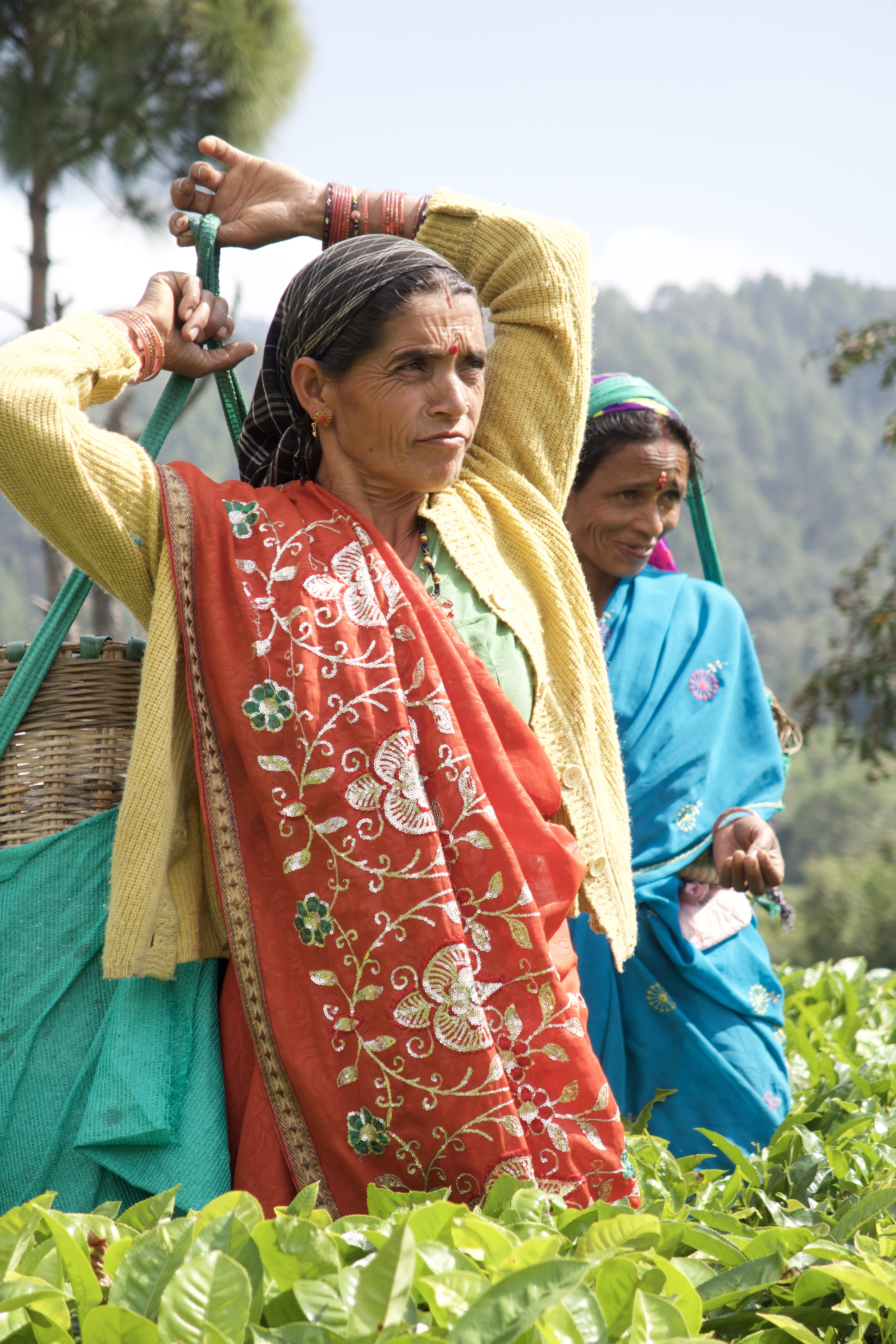 Woman carrying basket of tea leaves in India in Kumaon Tea Region