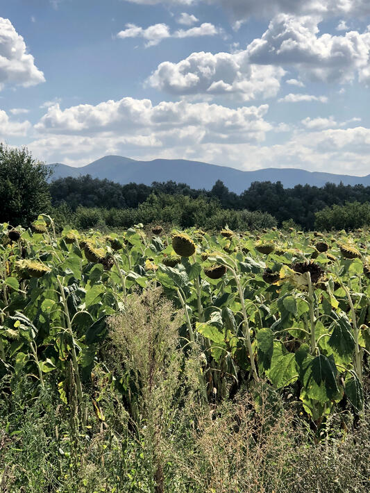 Patch of sunflowers in a field with mountains in background.