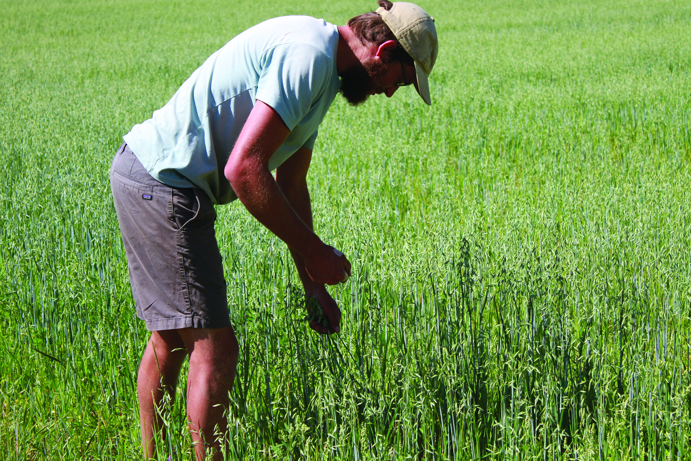 Young man in green field hand-harvesting milky oat tops
