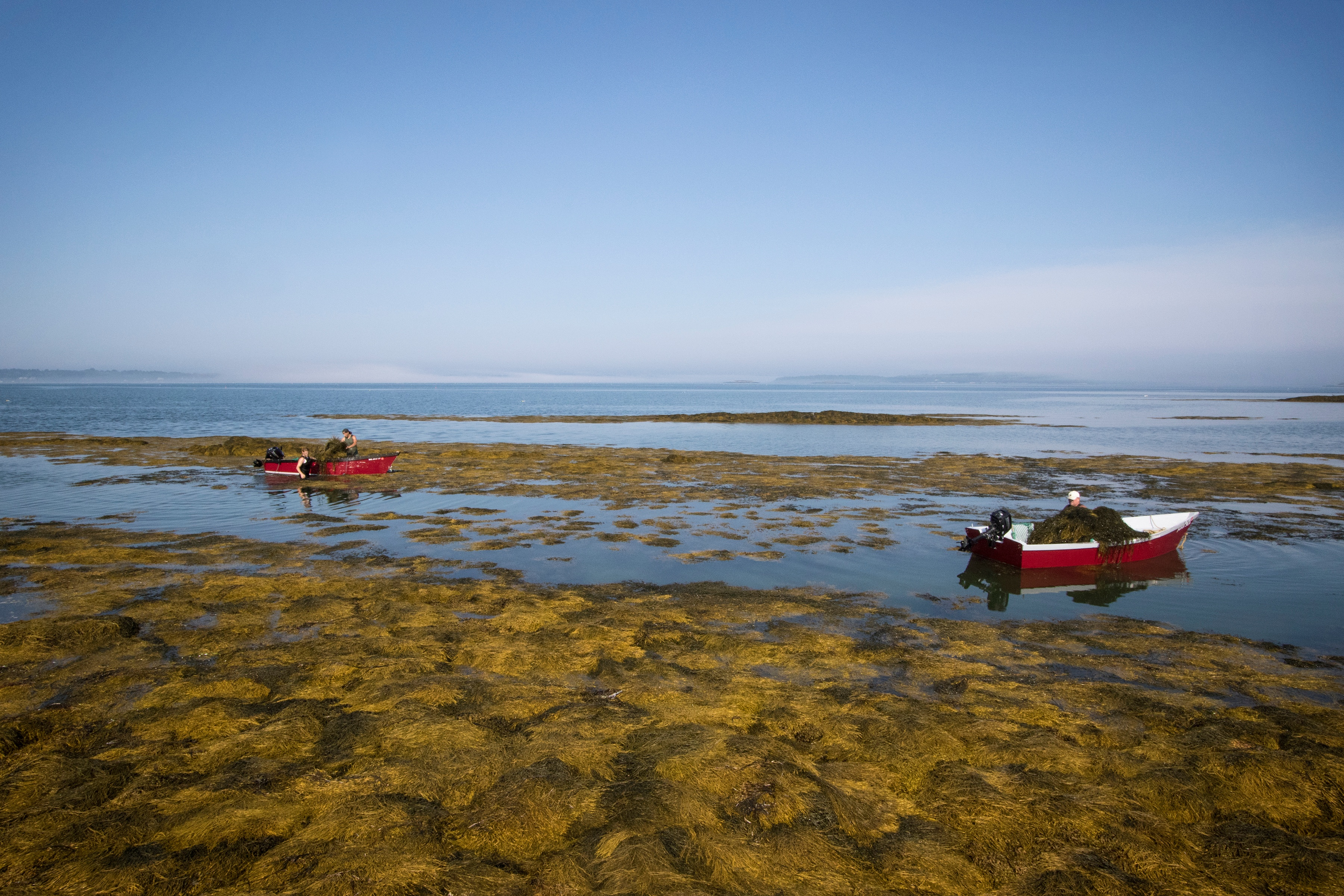 Red boats out on the sea for harvesting bladderwrack
