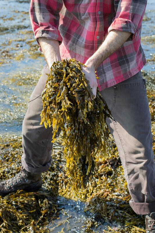 Hands holding bladderwrack out on the atlantic ocean harvesting seaweed
