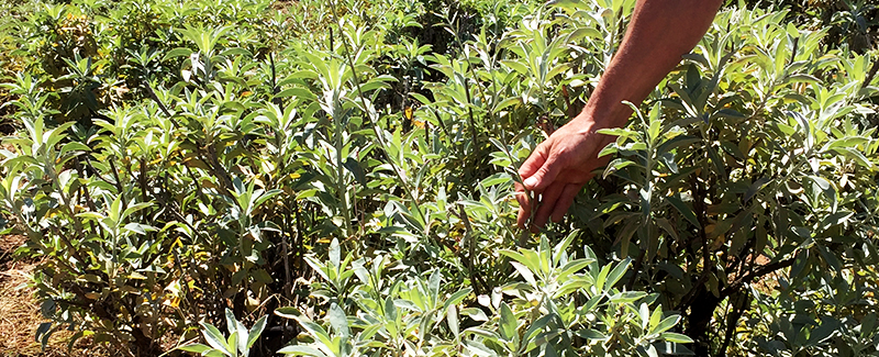 A person examining a cultivated organic white sage plant