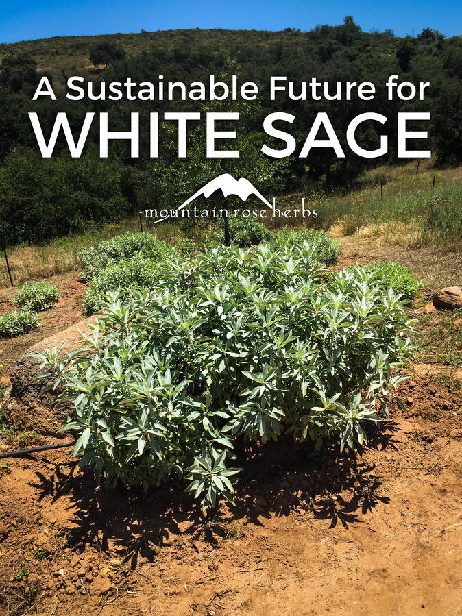 Picture of White Sage Plant to go to Pinterest