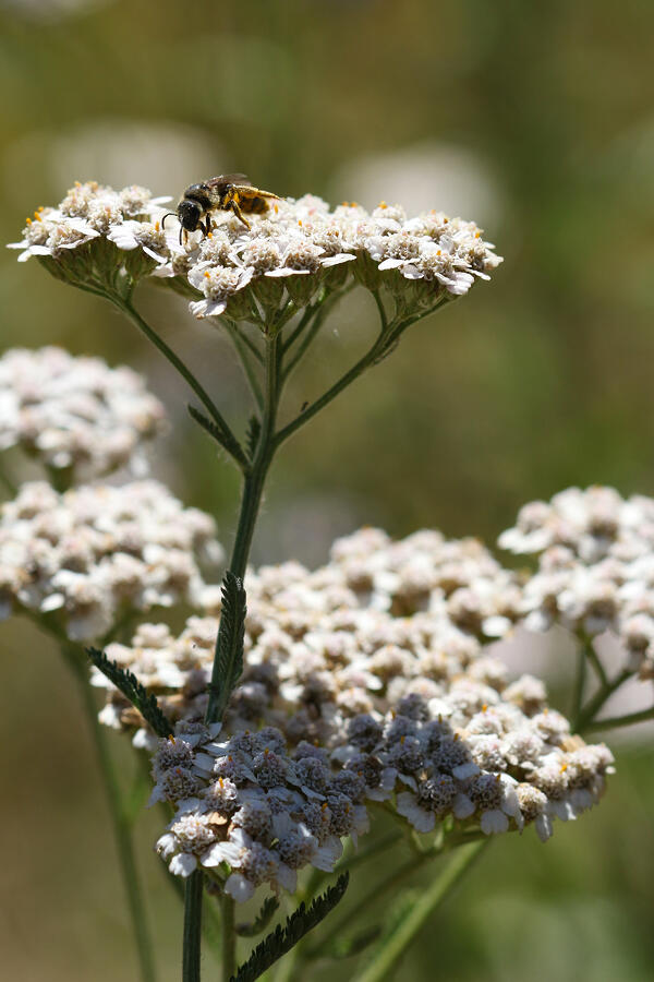 Pollinator bee on some flowering yarrow planted in the rain garden and bioswale at Mountain Rose Herbs facility in Eugene, Oregon