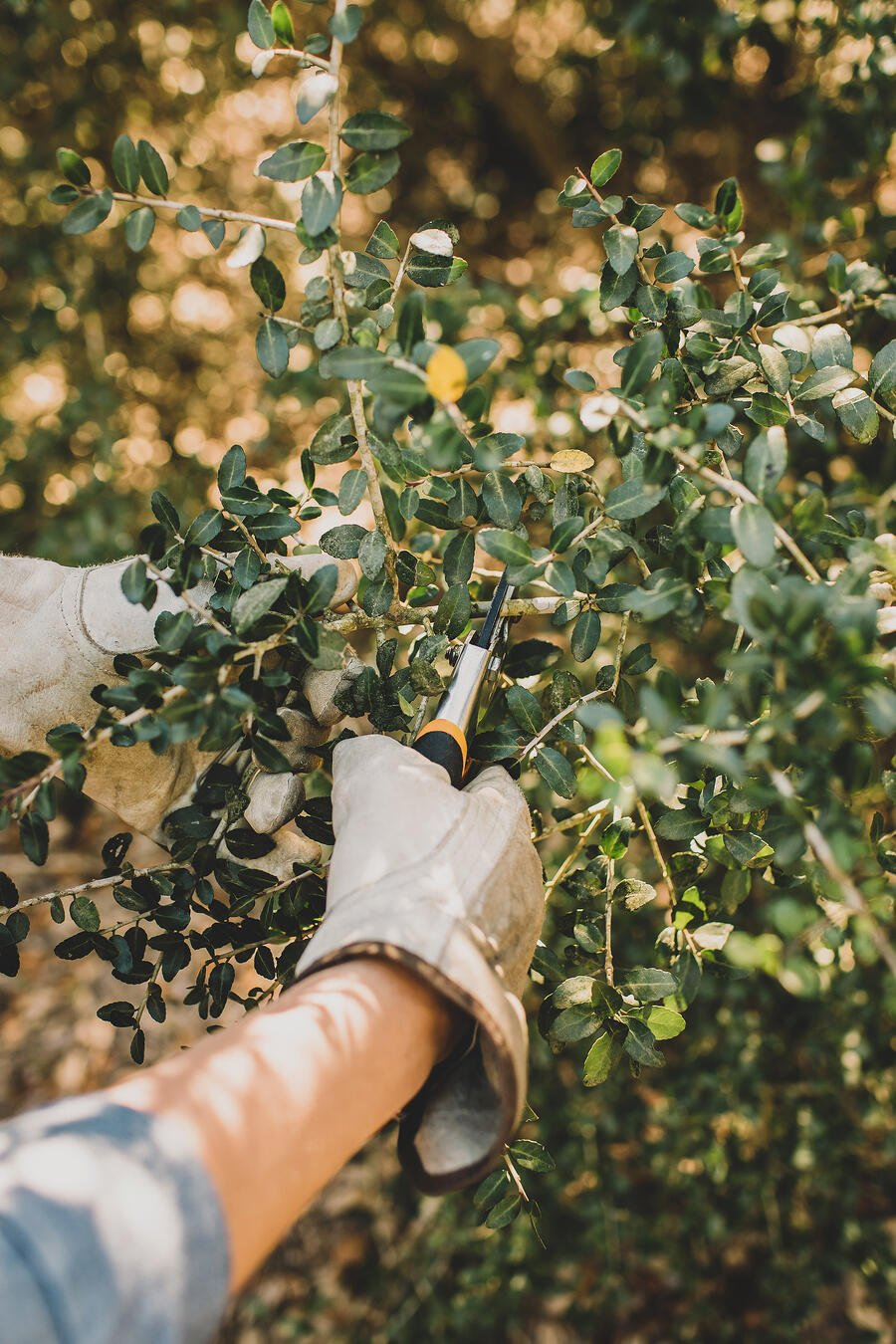 A person cutting yaupon holly with clippers in preparation for roasting yaupon leaves for tea.