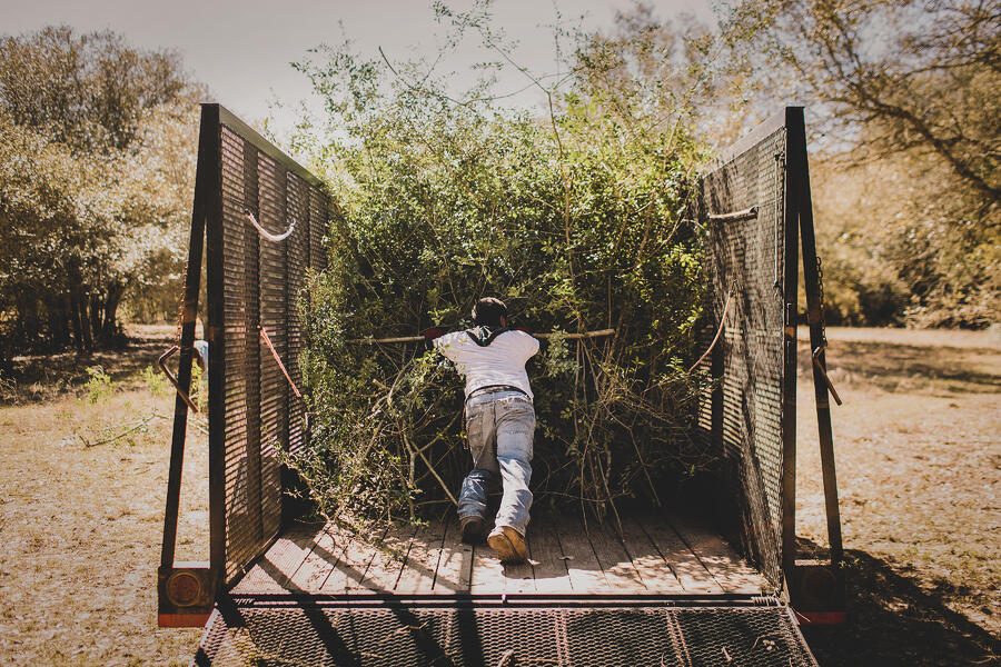 Cut yaupon holly being loaded in a truck.