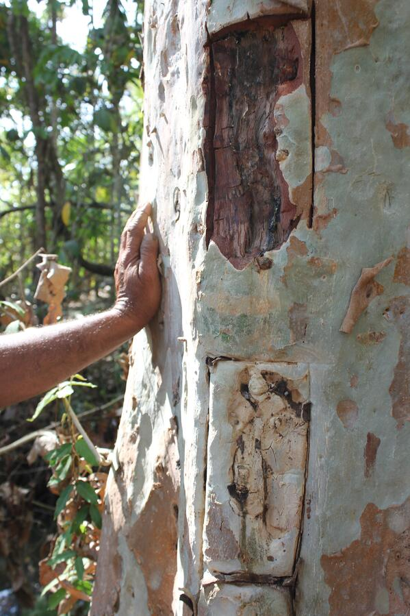 A farmer shows off bark collection methods on this arjuna tree trunk