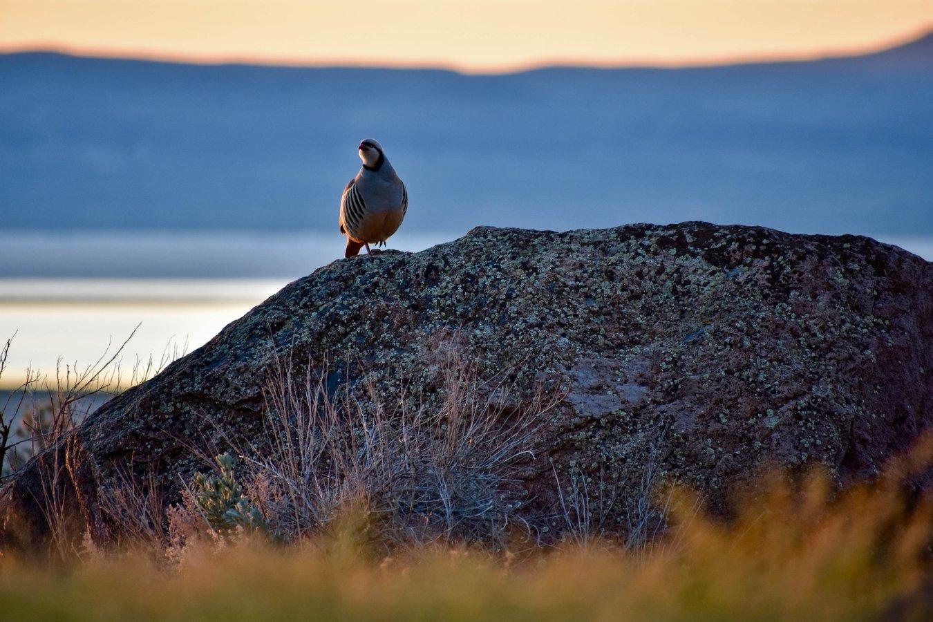 Chukar bird on rock Alvord Desert