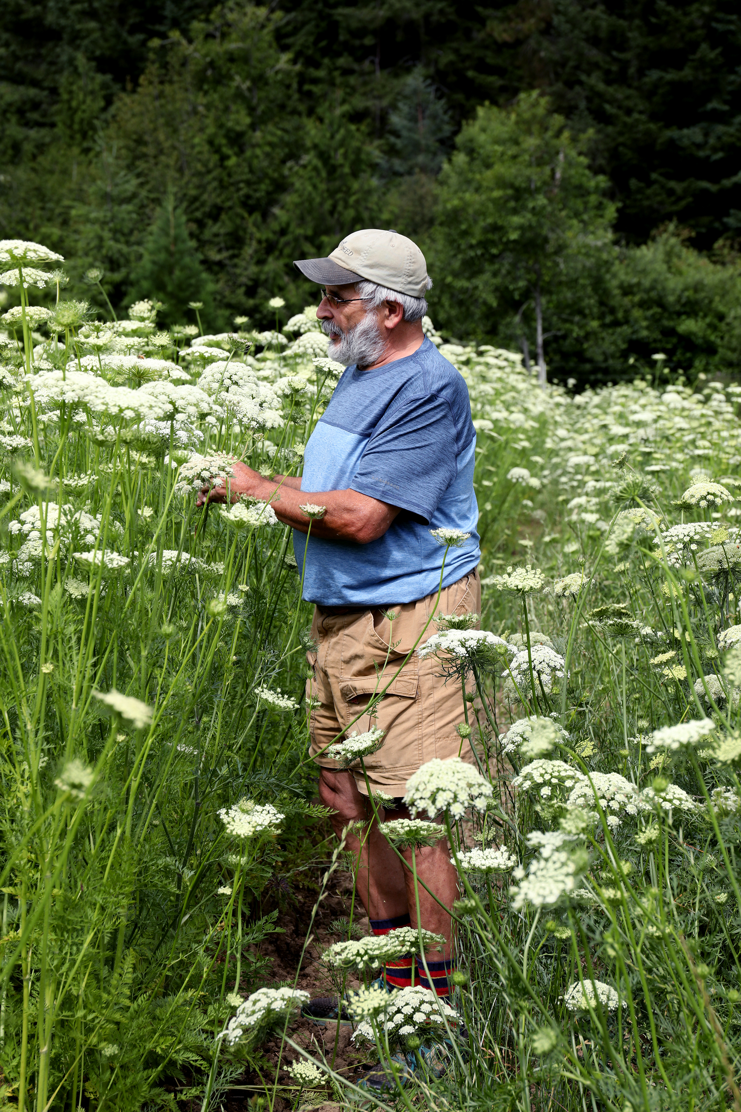 A farmer inspecting a field of blooming wild carrot flowers on a farm in Oregon.
