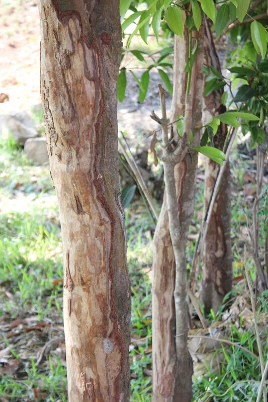 cassia tree trunks display sustainable bark trials