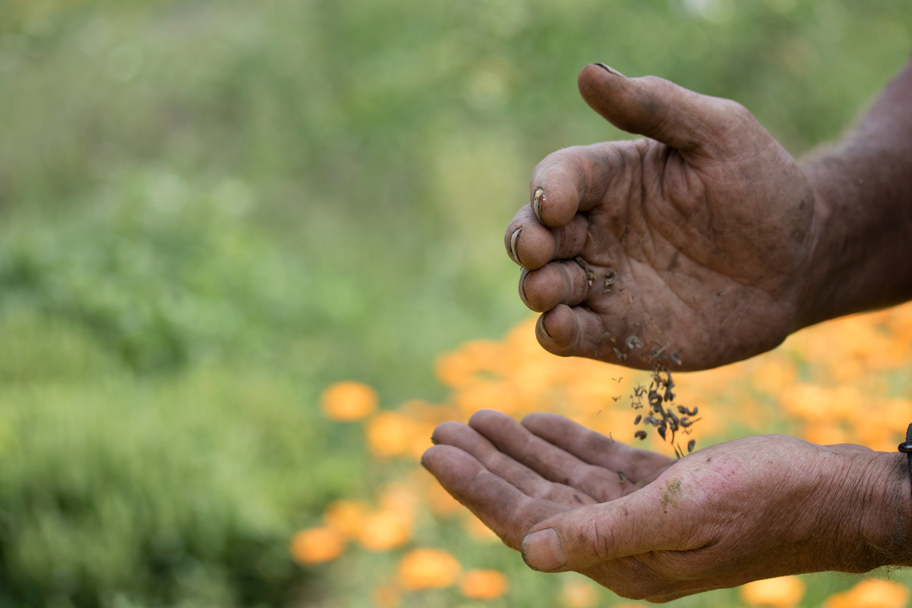 Working hands holding seeds for planting and tossing them between hands