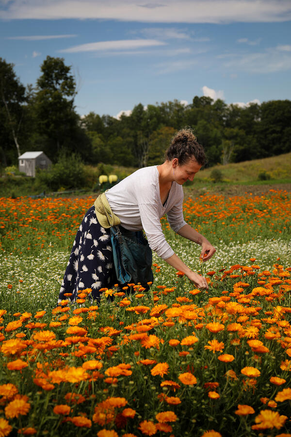 Calendula flower harvest on Foster Farm in Vermont.
