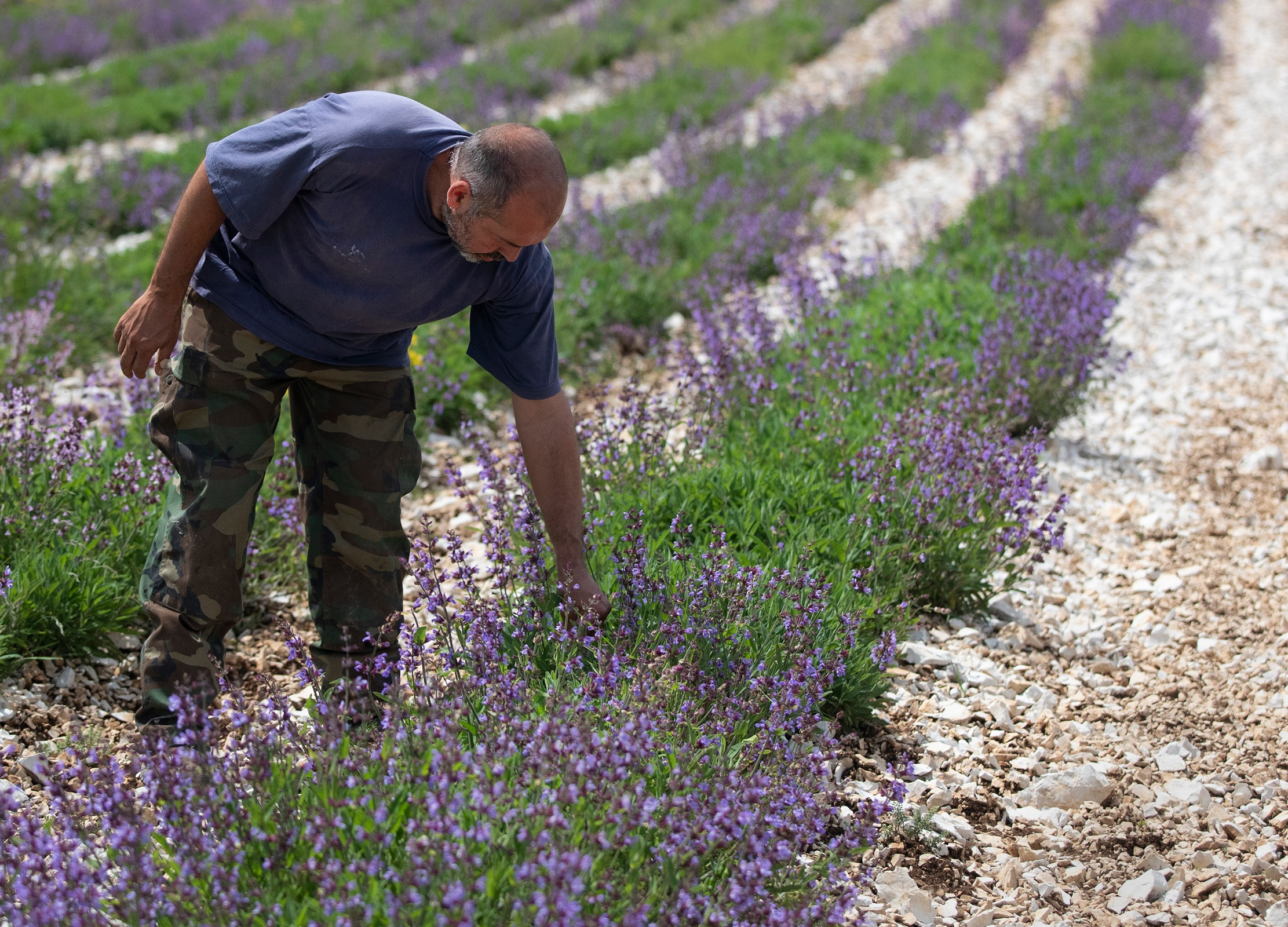 Farmer leans over to check the scent of his blooming sage plants in a field